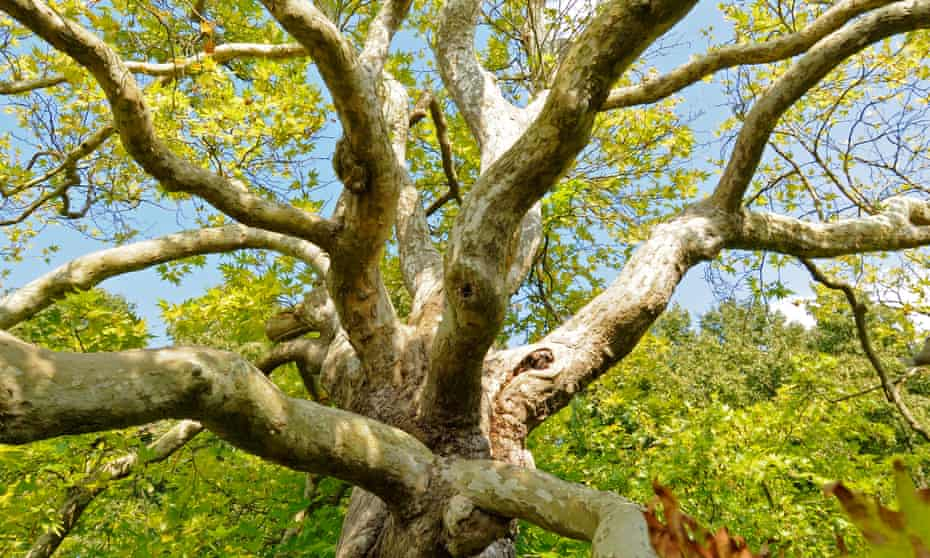 A London plane tree … just waiting for your embrace.