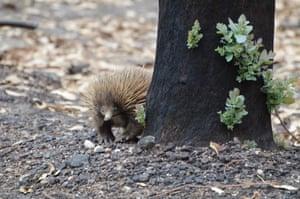 An echidna on Kangaroo Island