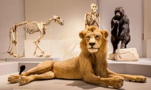 Stuffed lion at the Musée d'Histoire Naturelle de Lille