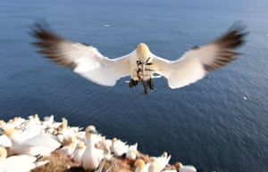 A gannet flying with a twig in its beak on the German island of Helgoland in the North Sea