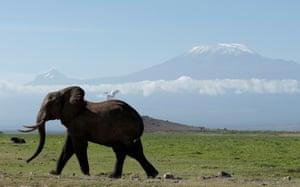 An elephant walks in front of Mount Kilimanjaro in Amboseli national park, Kenya