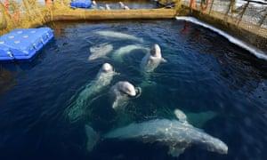 Beluga whales in a pool in Srednyaya Bay near the city of Nakhodka in Russia's far east