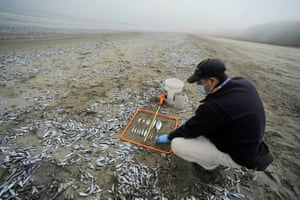 An employee from Chile's National Fisheries and Aquaculature Service measures dead fish washed up on shore in Horcones