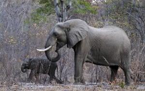 A herd of a elephants grazing in Zimbabwe's Hwange national park