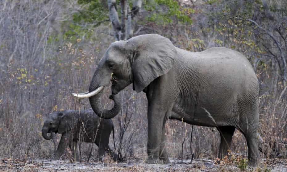Elephants graze in Zimbabwe's Hwange national park.