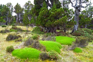 Giant cushion plants in an ancient pencil pine forest in the Walls of Jerusalem national park