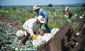 Jimadores collect the piñas from agave plants in the north-western state of Jalisco.