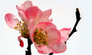 Japanese quince.