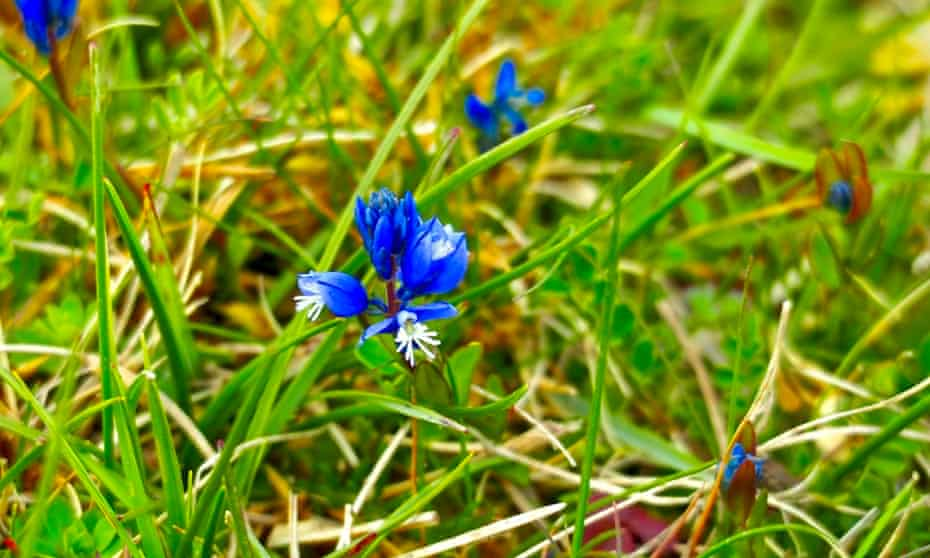 Chalk milkwort – the flower was collected at Rogationtide.