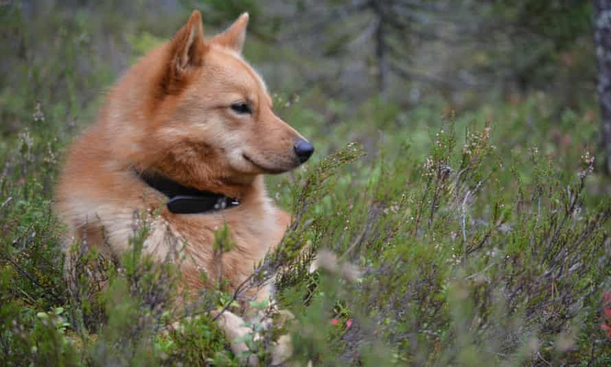 A dog, Little Hunter, sitting in grass in Kuhmo