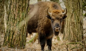 A European bison in the Maashorst nature reserve, the Netherlands, in 2017.