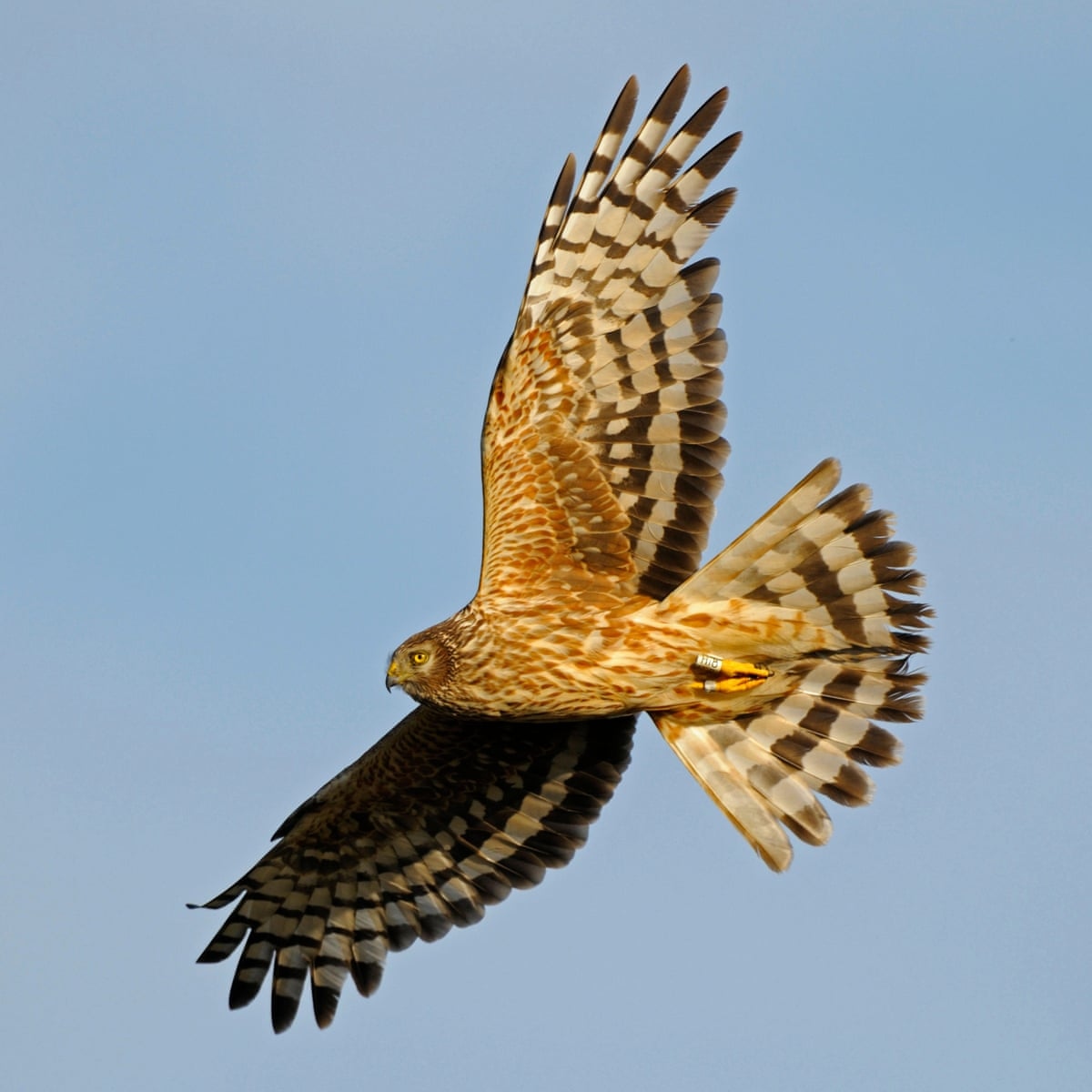 Rspb Flooded With Reports Of Birds Of Prey Being Killed Rspb The Guardian