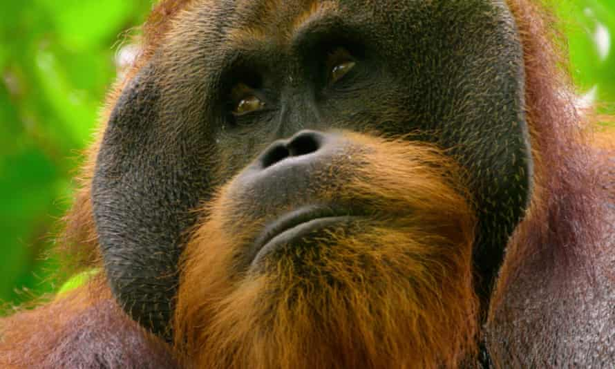 Pluto the orangutan.