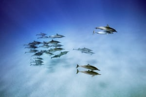 Spinner Dolphins in the waters off Oahu, Hawaii