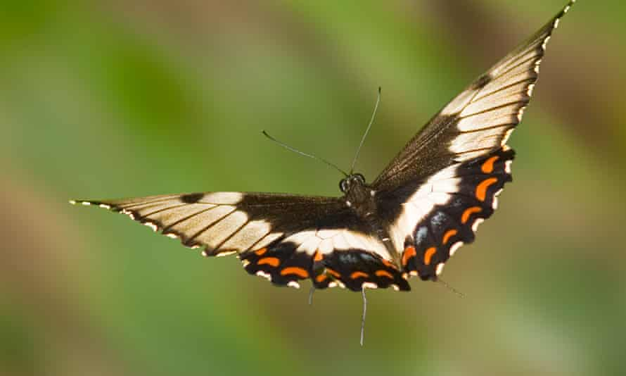 An orchard swallowtail butterfly (Papilio Aegeus Donovan) in flight.