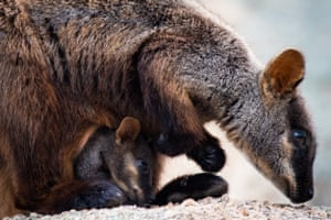 An endangered Southern Brush-Tailed Rock Wallaby with joey.