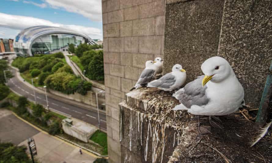 A kittiwake colony gets comfortable on the Tyne Bridge in Newcastle last summer.