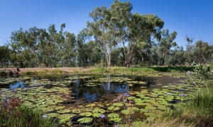 Waterlillies at the natural springs on Doongmabulla Cattle Station. 'We've been working incredibly hard to stop the damage and restore the Great Artesian Basin to its former glory'