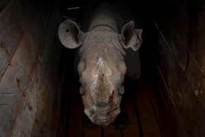 A female eastern black rhino inside a crate before being transported during a rhino translocation exercise in Nairobi national park, Kenya