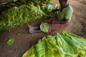 Sewing tobacco leaves in preparation for drying