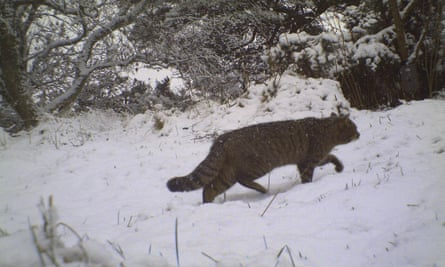 A Scottish wildcat in the snow.