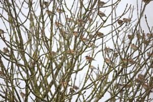Bramblings (Fringilla montifringilla)