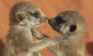 Meerkats are acutely aware of their social status