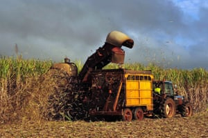 Sugar cane is harvested on a farm