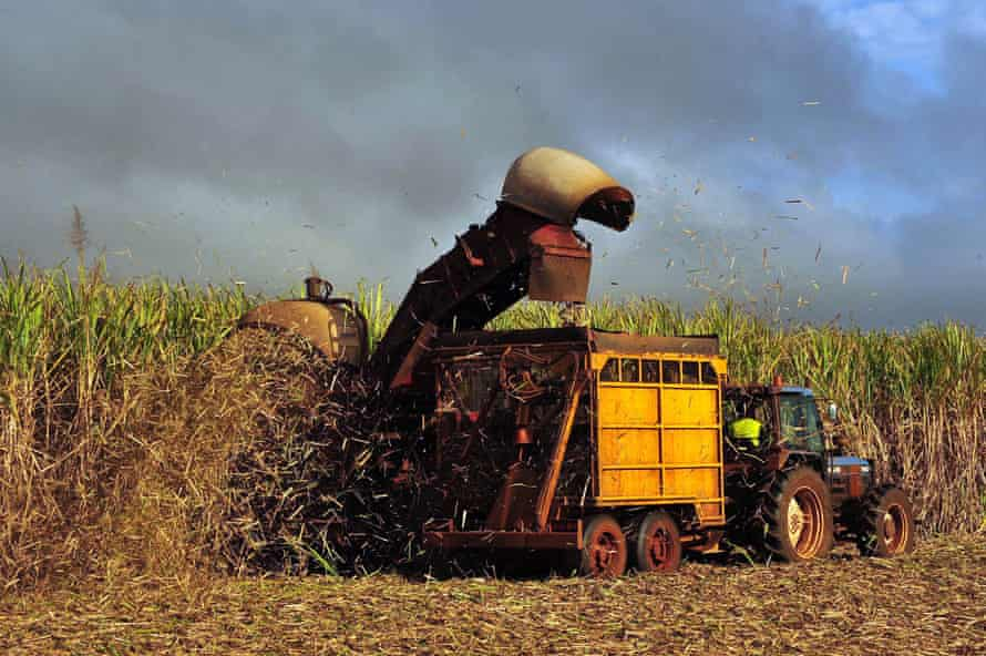 Sugar cane is harvested on a farm
