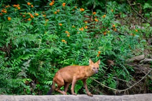 A dhole (Asiatic wild dog) in Khao Yai National Park, 80 miles (130km) north of Bangkok