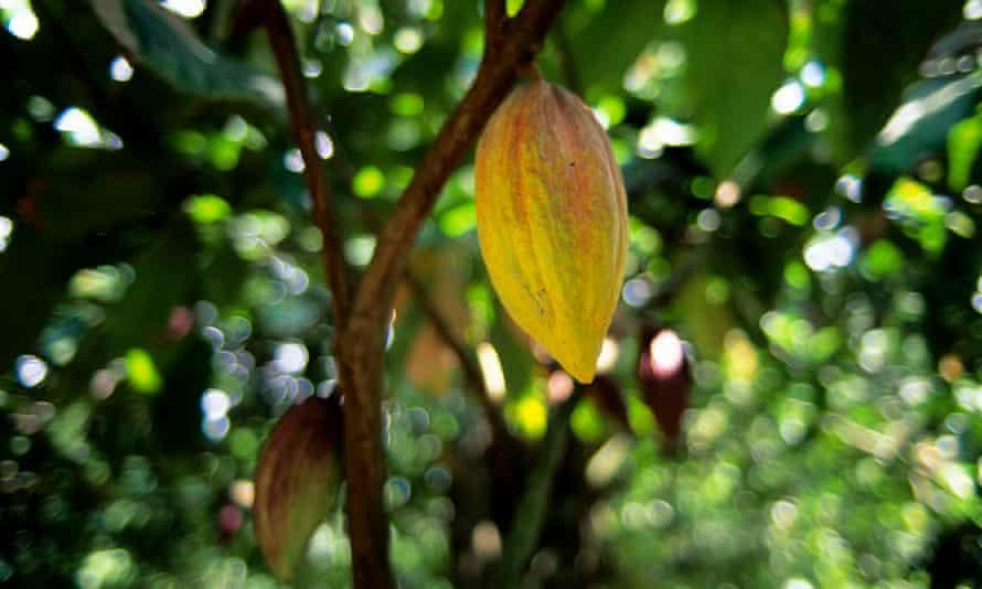 A cocoa plantation in Trinidad