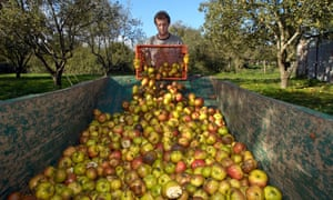 Apples being collected in an orchard in Somerset, England.