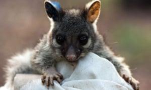 A baby brushtail possum
