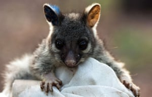 A baby brushtail possum.