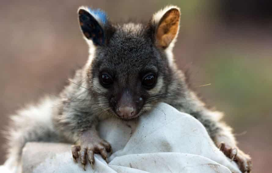 A baby brushtail possum.