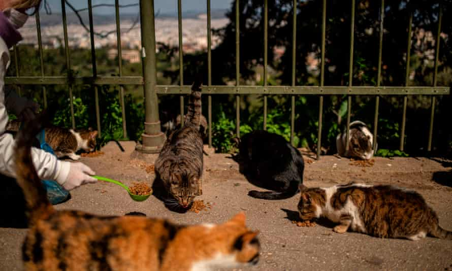 A volunteer feeds stray cats in Athens in April 2020.
