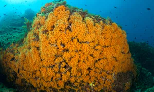 A rock in the Punta Campanella marine reserve, Italy, covered with yellow cluster anemone.