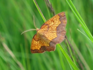 A dark bordered beauty moth, which is heading towards extinction at its last site in England,according to new research