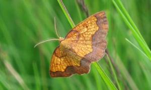 Dark Bordered Beauty moth