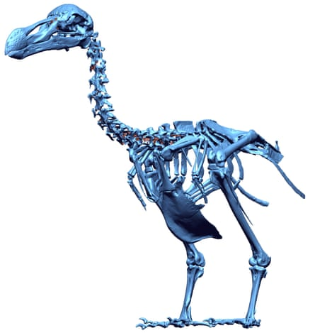 A 3D digital model of the only complete skeleton of a single dodo, found in 1903 on Mauritius.