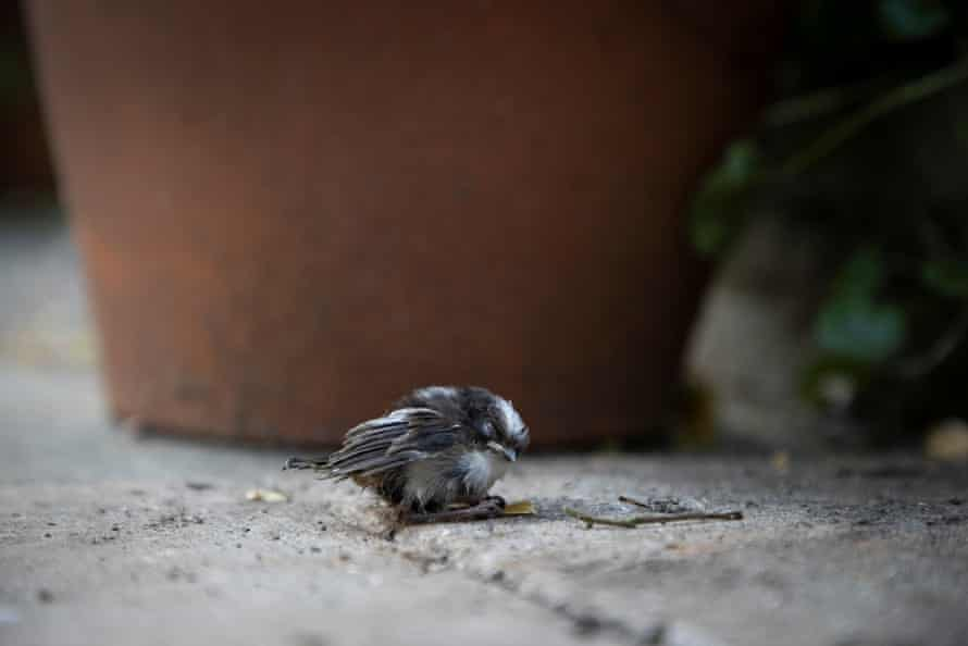 A chick still just alive but dying, on the ground after falling eight feet from the nest.