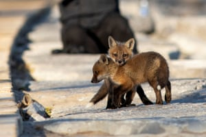 Fox cubs venture out from their den under a popular boardwalk alongside Lake Ontario, Toronto