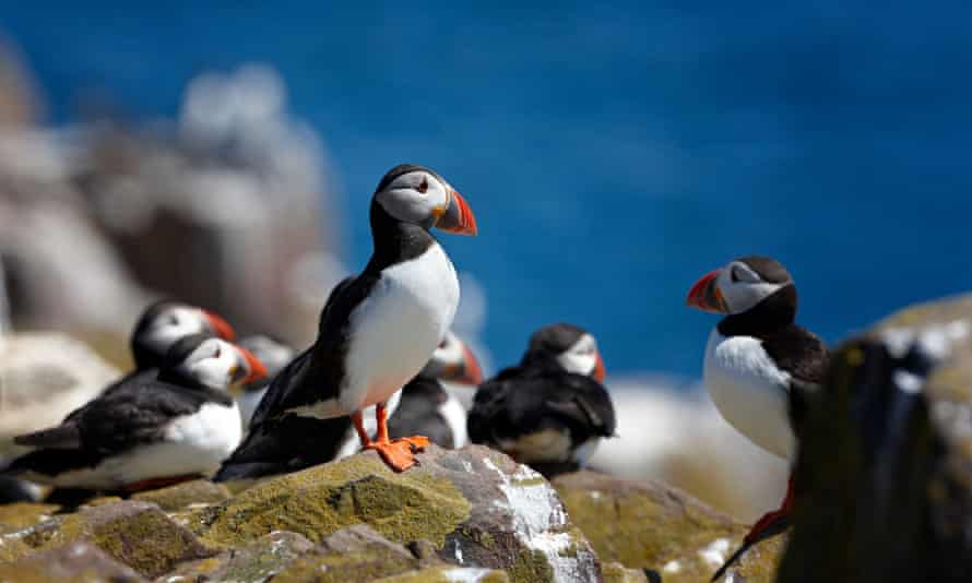 Birds of a feather: puffins can be spotted on the Farne Islands from April.