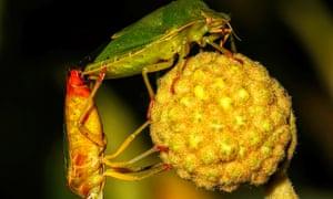 green shield bugs mating