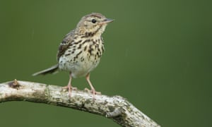Tree pipits have benefitted from the conservation work.