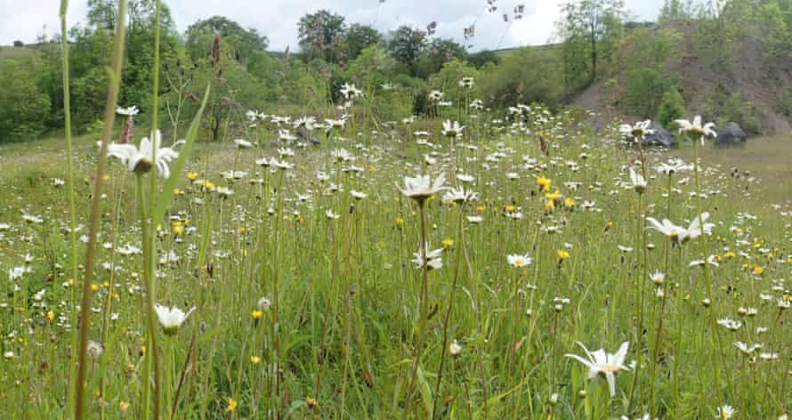 Oxeye daisies in Miller Dale Quarry