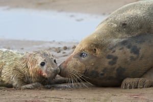 A newborn grey seal pup is tended by its mother at Donna Nook, a nature reserve managed by Lincolnshire Wildlife Trust