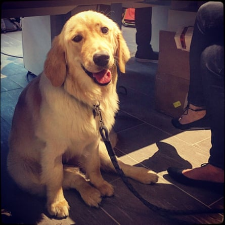 Joy, an eight-month-old golden retriever belonging to Carol DuPuis, in ReachNow's offices in Seattle.