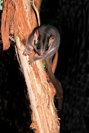 Victoria's faunal emblem, the threatened Leadbeater's possum.