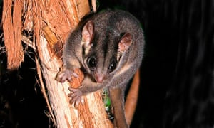 The Leadbeater's possum was listed as critically endangered in 2015, with 80% of its population lost since the 1980s.